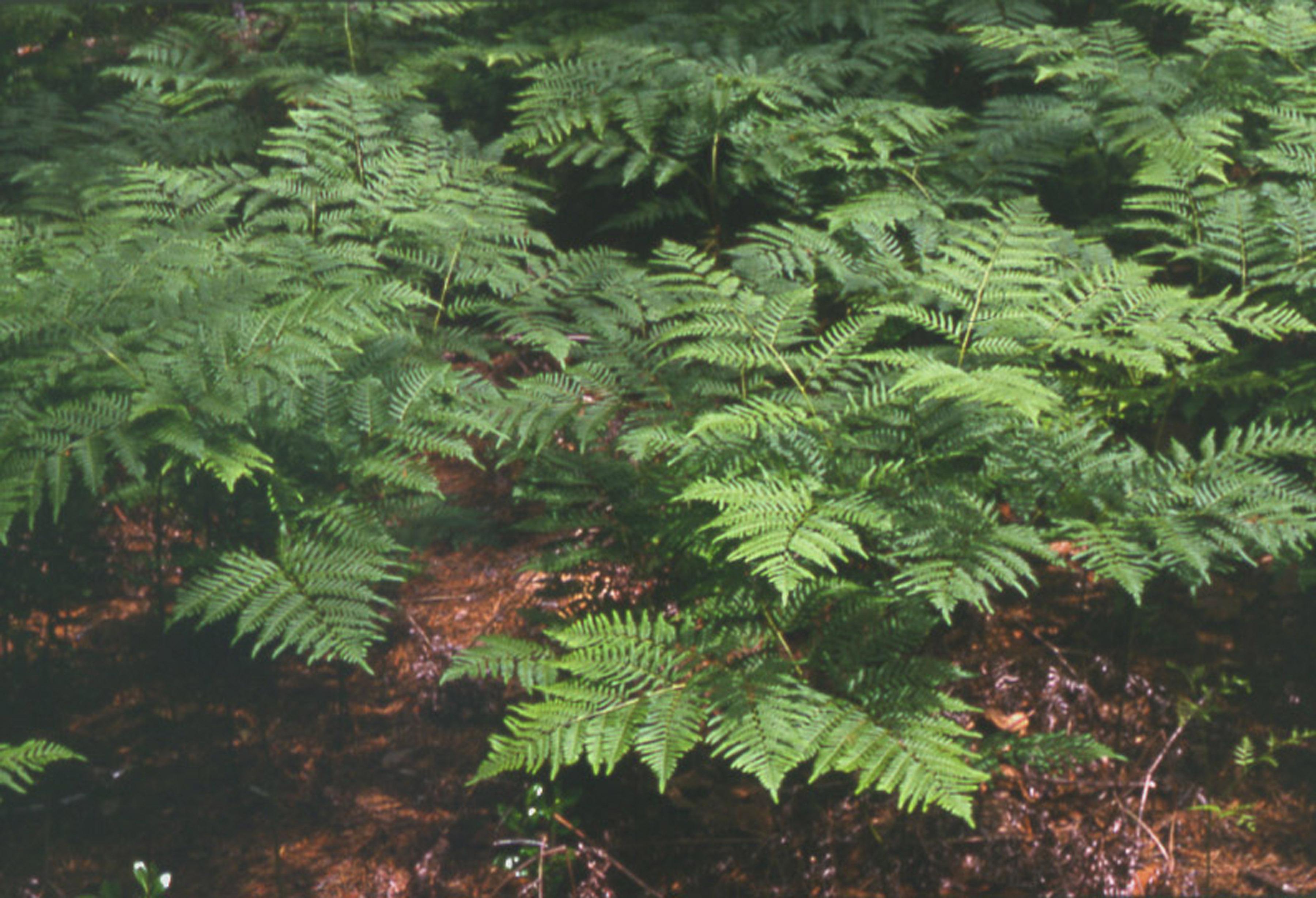 New York Metropolitan Flora: Pteridium aquilinum: Bracken Fern