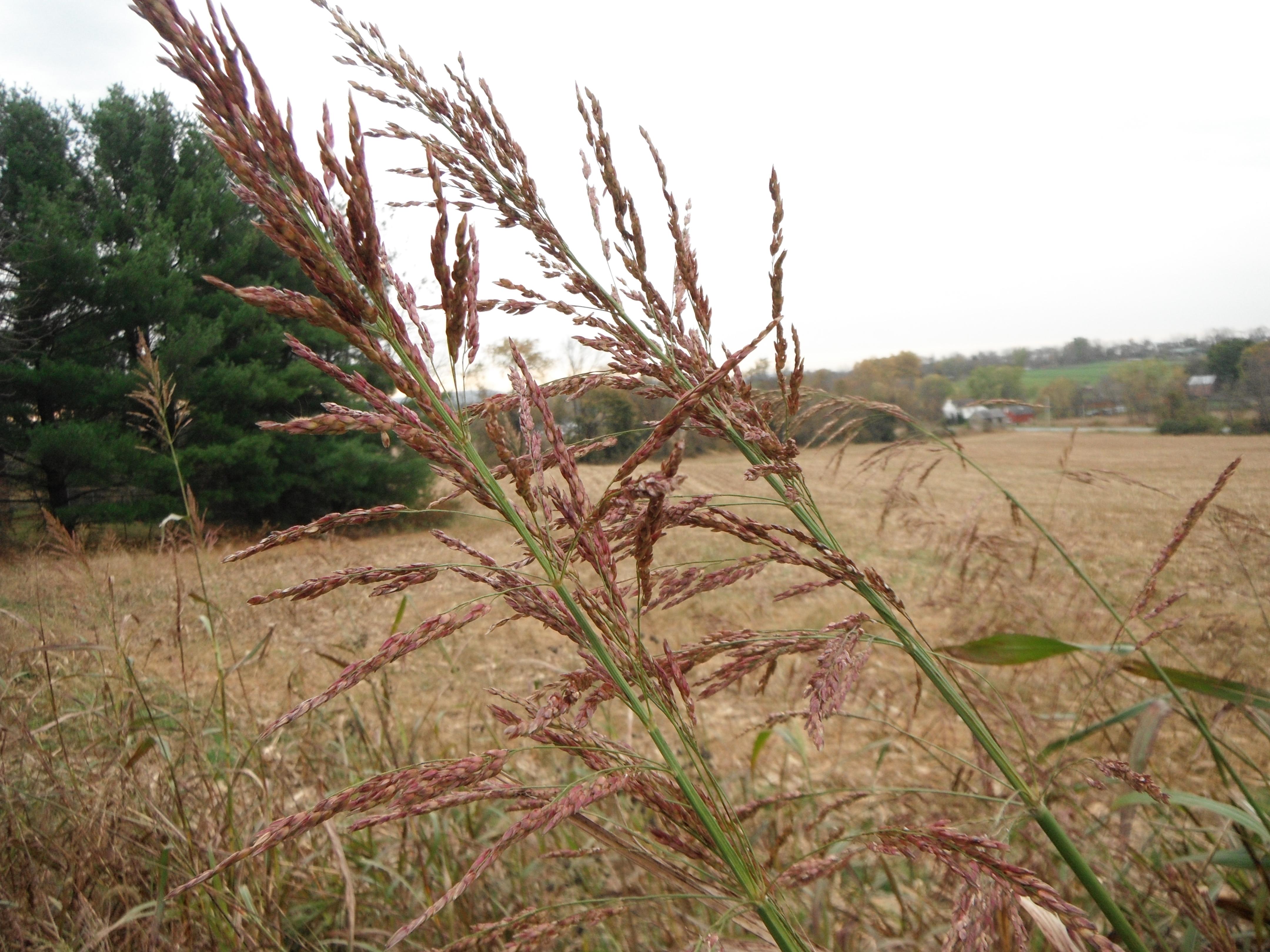 Sorghum Halepense Johnson Grass Cabiorg