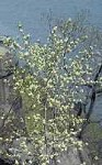 Amelanchier canadensis