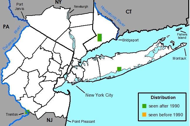 New York Metropolitan Flora: Hydrilla verticillata: Hydrilla